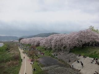 淀川河川公園背割提桜 (1).JPG