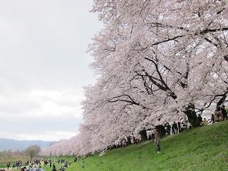 淀川河川公園背割提桜 (3).JPG