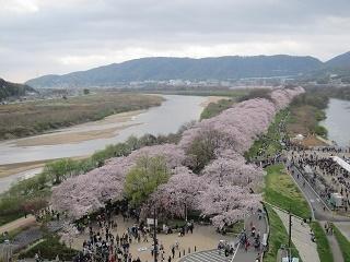 淀川河川公園背割提桜 (6).JPG